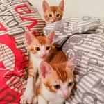 Three ginger male kittens